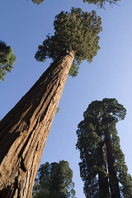 Sequoiadendron Giganteum Photograph - Giant Sequoia Trees Sequoiadendron by Rich Reid
