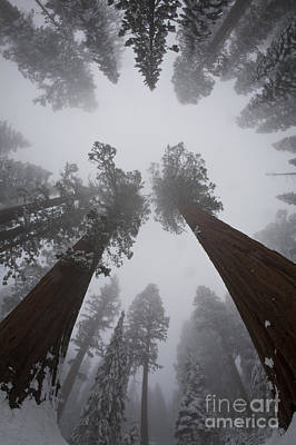 Sequoiadendron Giganteum Photograph - Giant Sequoias by Gregory G. Dimijian, M.D.