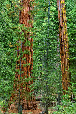 Photograph - Giant Sequoias Sequoiadendron Gigantium Yosemite Np Ca by Dave Welling