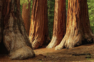 Three Trees Photograph - Giant Sequoias, Yosemite National Park by Andrew C Mace