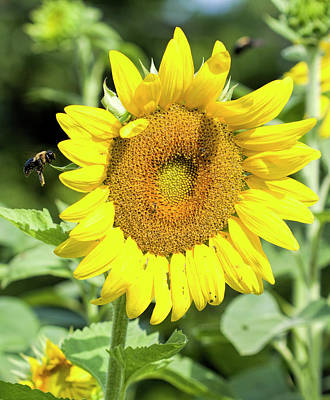 Photograph - Giant Sunflower Bloom by Kathy Clark