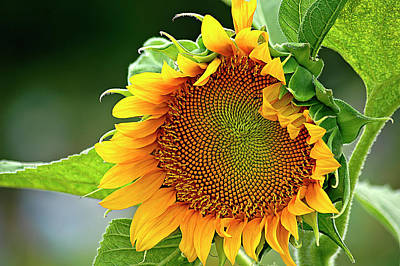 Photograph - Giant Sunflower by Carolyn Marshall