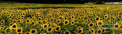 Photograph - Giant Sunflower Panorama by Barbara Bowen