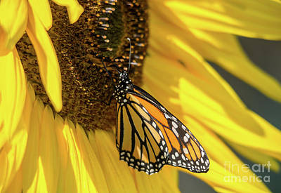 Photograph - Giant Sunflower With Monarch by Cheryl Baxter