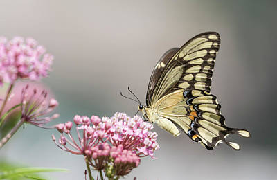 Swamp Milkweed Photograph - Giant Swallowtail 2017-1 by Thomas Young
