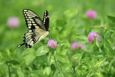 Photograph - Giant Swallowtail  by Brook Burling