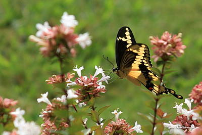 Photograph - Giant Swallowtail Butterfly 2 by Reid Callaway