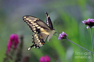 Photograph - Giant Swallowtail Butterfly In Garden 2015 by Karen Adams