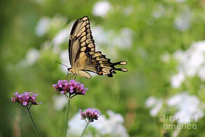 Photograph - Giant Swallowtail Butterfly In Garden by Karen Adams