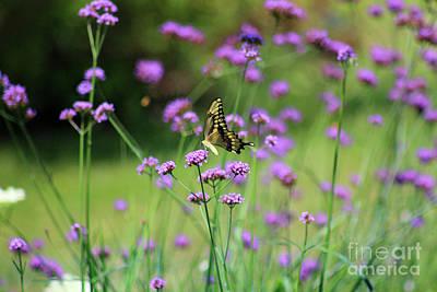 Photograph - Giant Swallowtail Butterfly In Purple Field by Karen Adams