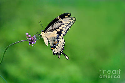 Photograph - Giant Swallowtail Butterfly On Green 2015 by Karen Adams