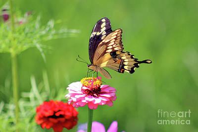 Photograph - Giant Swallowtail Butterfly On Pink Zinnia by Karen Adams
