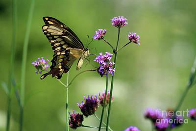 Lepidoptera Photograph - Giant Swallowtail Butterfly On Verbena by Karen Adams