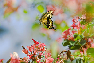 Photograph - Giant Swallowtail Butterfly by Thomas and Pat Leeson