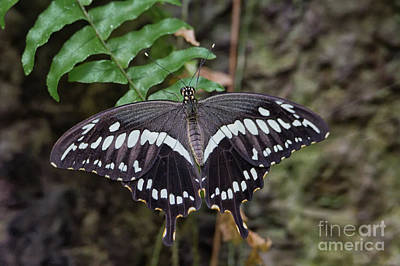 Photograph - Giant Swallowtail by David Cutts