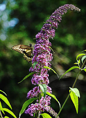 Photograph - Giant Swallowtail by Debbie Oppermann
