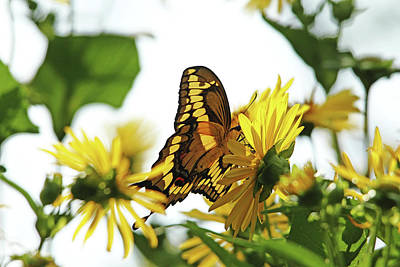 Photograph - Giant Swallowtail In Morning Light by Debbie Oppermann