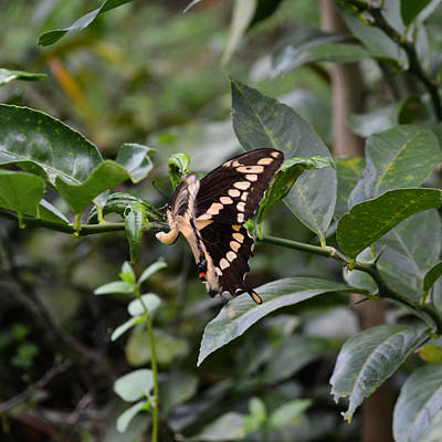 Photograph - Giant Swallowtail Laying Eggs by rd Erickson
