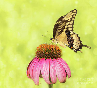 Photograph - Giant Swallowtail On Coneflower by Sari ONeal