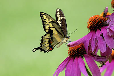 Photograph - Giant Swallowtail On Conflower by Brook Burling