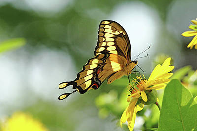 Photograph - Giant Swallowtail On Cup Plant by Debbie Oppermann