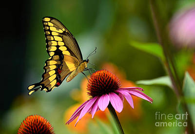 Photograph - Giant Swallowtail by Sue Stefanowicz