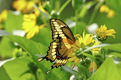 Photograph - Giant Swallowtail Wings by Debbie Oppermann