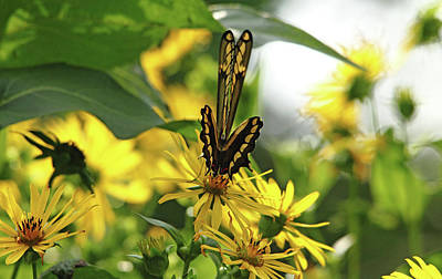 Photograph - Giant Swallowtail Wings Folded by Debbie Oppermann