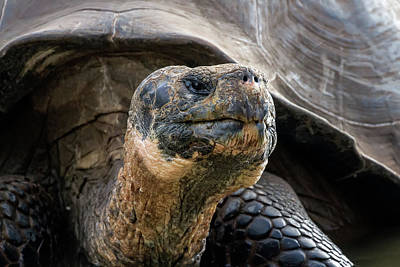 Photograph - Giant Tortoise Portrait by John Haldane