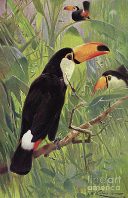 Toucan Wall Art - Painting - Giant Toucan by Wilhelm Kuhnert