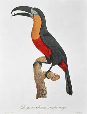 Toucan Painting - Giant Touraco by Jacques Barraband