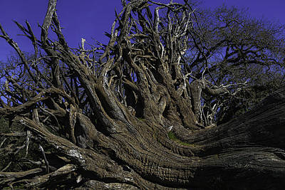 Tree Roots Photograph - Giant Tree Roots by Garry Gay