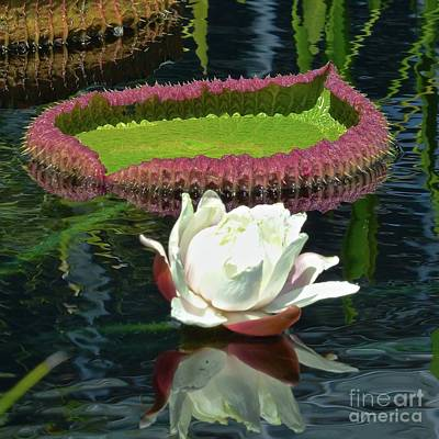 Photograph - Giant Water Lily Blossom by Jean Wright