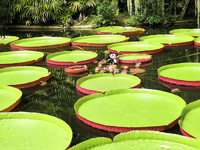 Victoria Cruziana Photograph - Giant Water Lily Platters by Zina Stromberg
