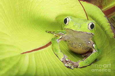 Aretha Franklin - Giant Waxy Tree Frog by Linda D Lester