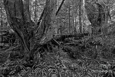 Photograph - Giants In The Rainforest Black And White by Adam Jewell