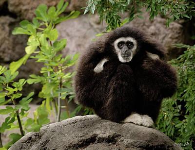 Photograph - Gibbon by Alexander Fedin