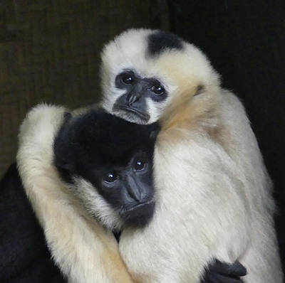 Photograph - Gibbon Togetherness by Margaret Saheed