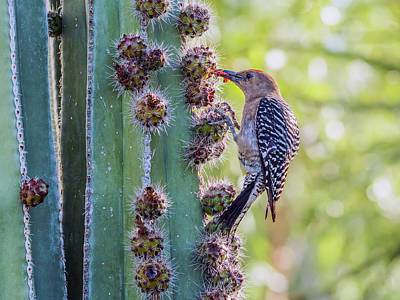 Photograph - Gila Woodpecker 8698 by Tam Ryan