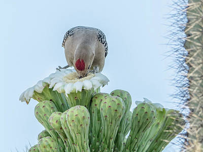 Photograph - Gila Woodpecker And Saguaro Cactus Flower 7320 by Tam Ryan