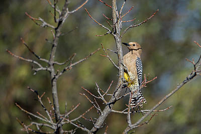 Photograph - Gila Woodpecker by Dan McManus