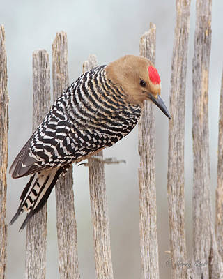Photograph - Gila Woodpecker by Gerry Sibell