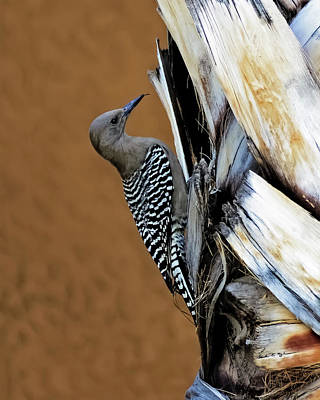 Photograph - Gila Woodpecker V41 by Mark Myhaver