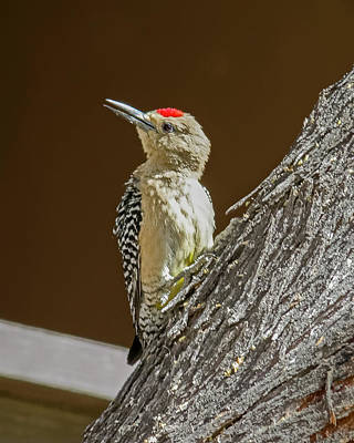 Photograph - Gila Woodpecker V58 by Mark Myhaver