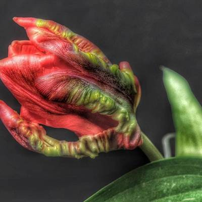 Tulips Photograph - @gillespieflorists Thanks Sarah by David Haskett