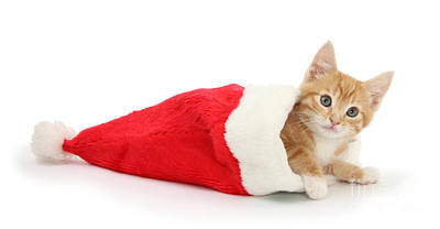Photograph - Ginger Cat In Santa Hat by Warren Photographic