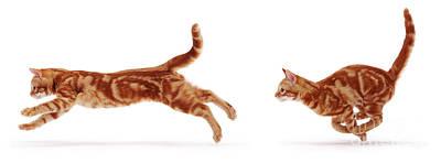 Photograph - Ginger Cat Running by Warren Photographic
