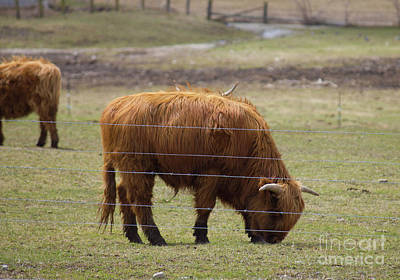 Photograph - Ginger Highland Cow In Pasture by Donna Munro