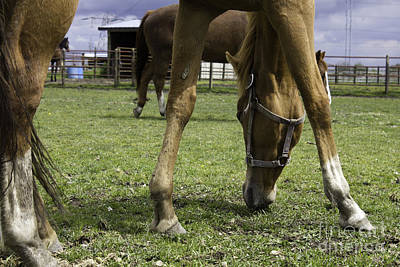 Photograph - Ginger Horse Grazing 2 by Donna Munro
