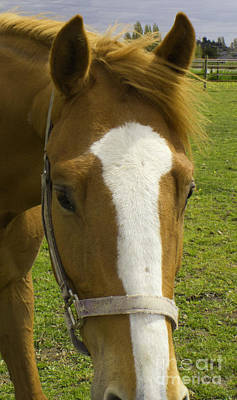Photograph - Ginger Horse Head by Donna Munro